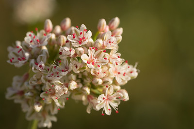 California Buckwheat Flower