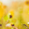 Sunflower in Light