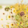 Sunflowers in Light