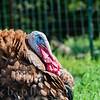 Farmyard Turkey