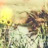 Wild Sunflowers on the Edge of a Marsh Rural America