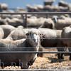 Feedlot Lambs