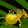 Graceful Tree Frog calling