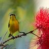 Yellow bellied sun bird (female)