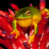 Orange Thighed Tree Frog on Bromeliad