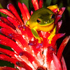 Frog on Bromeliad Flower