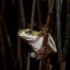 Sedge Frog