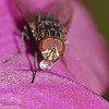 Fly on Cooktown Orchid