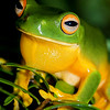 Orange Thighed Tree Frog