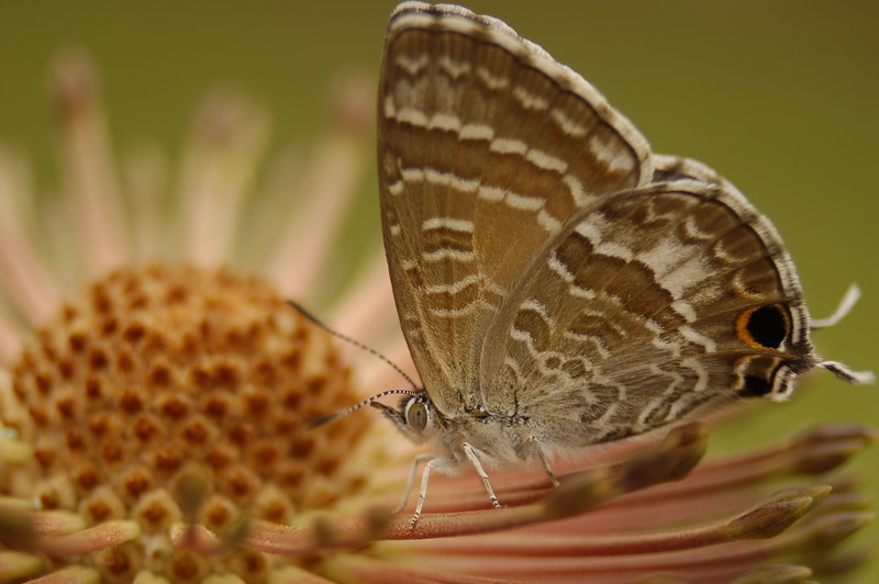 Butterfly on Banksia