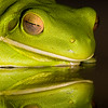Reflecting Frog