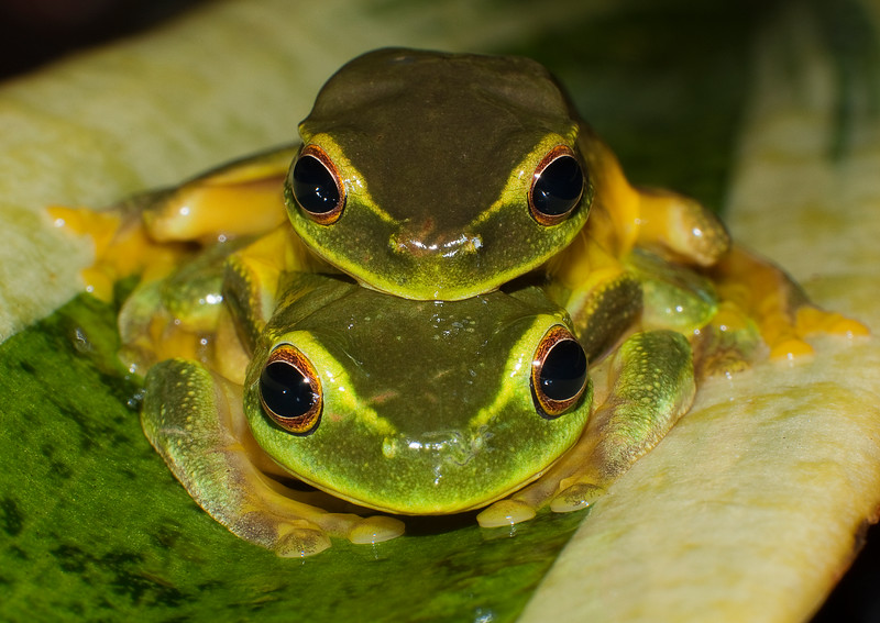 Graceful Tree Frogs mating