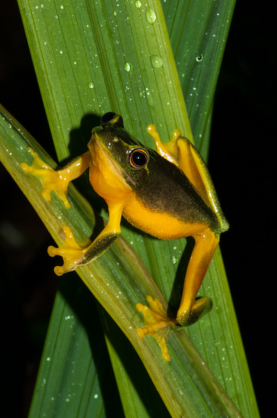 Graceful Tree Frog