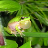 Frog, Eastern Sedge frog