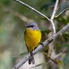 Northern Yellow Robin