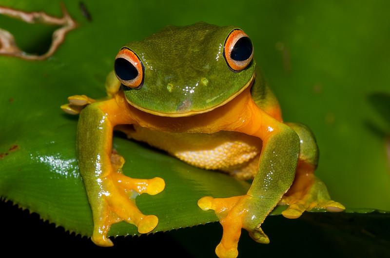 Orange Thighed Tree Frog