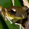 Litoria Sp, probably Litoria lesueuri (Stoney Creek Frog)