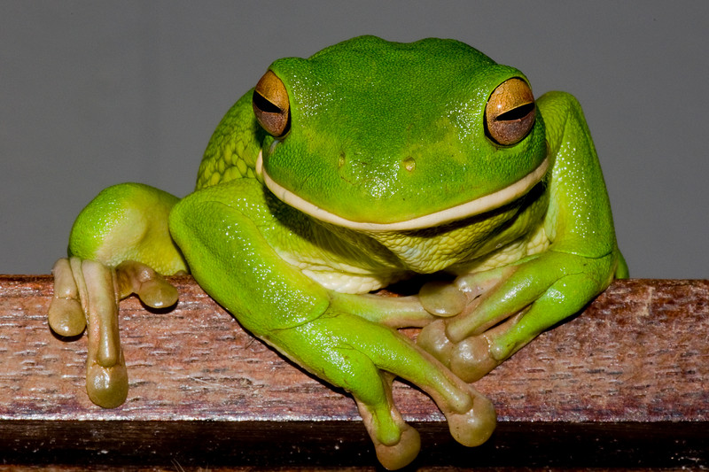White Lipped Tree Frog on Stair