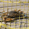 Blue crab - male