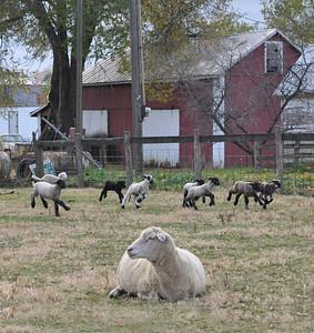 Lambs on the run 11-08-08a