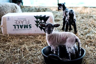 Lambing2020