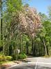 Flowering tree, 04/05/2011