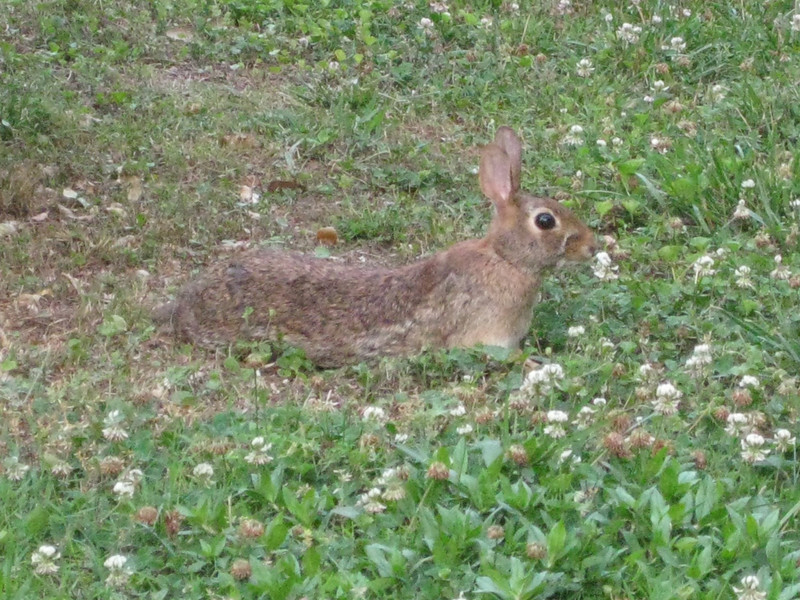 Bunny near Charles and Heidi's, 06/01/2011