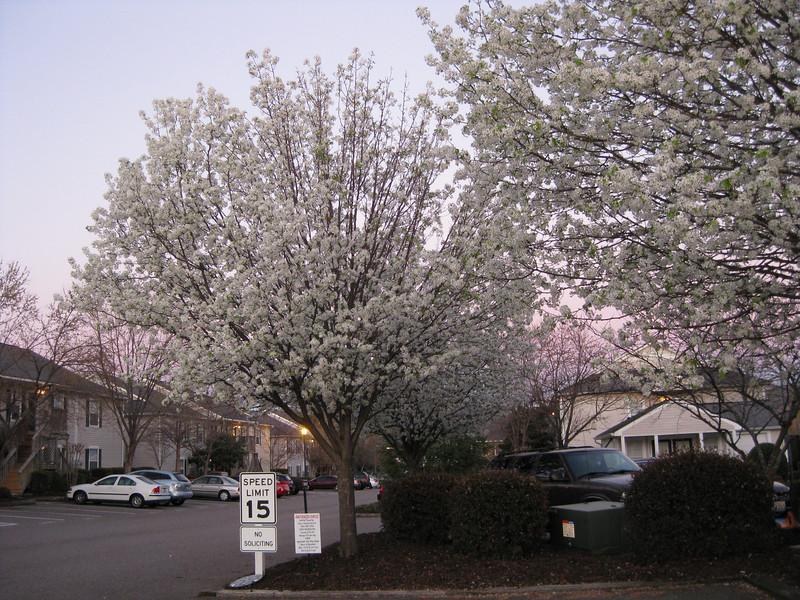 Flowering trees, 03/01/2011