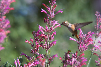This flashy little guy controls these hummingbird mint plants. He chases everyone else off.
