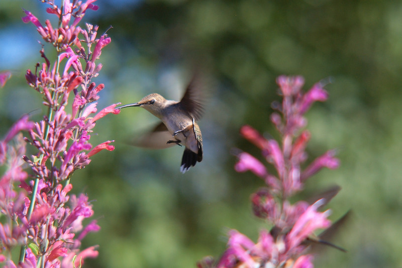 So that Hummingbird really attracts the hummingbirds.  How about that!