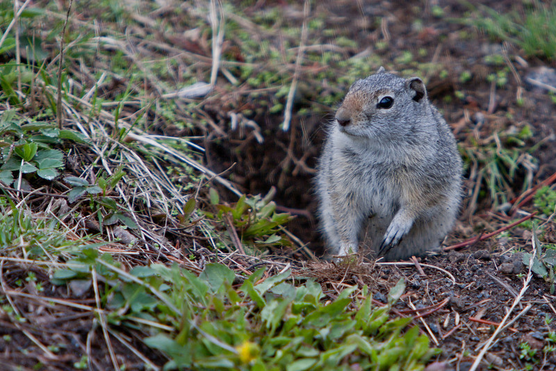 Ground Squirrel, Yellowstone National Park