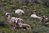 Big Horn Sheep in Jackson, Wyoming