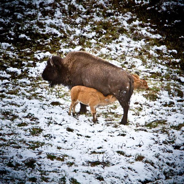 Nursing Bison, Yellowstone National Park