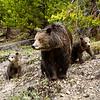 Three Grizzlies, Yellowstone National Park