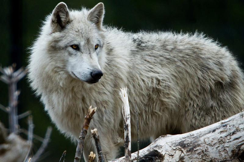 'Alpha Dog'<br /> Wolf in West Yellowstone