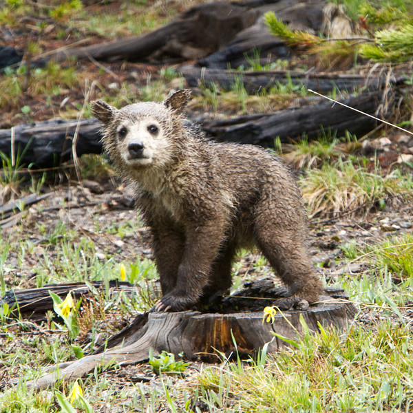 Grizzly Cub, Yellowstone National Park