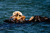 Morro Bay Sea Otter with her pup