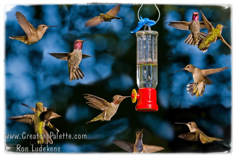 Hummingbirds 3B