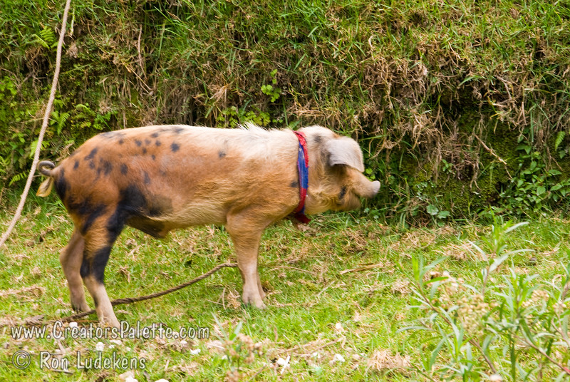 Guatemala Mission Trip - Day 7 - Thursday, November 15, 2007.  Dedication Day.<br /> A small hairy pig tethered by the creek.