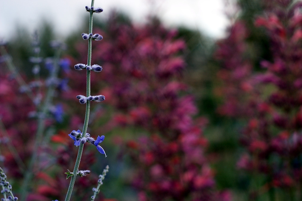 Russian Sage Against a Background of Agastache.