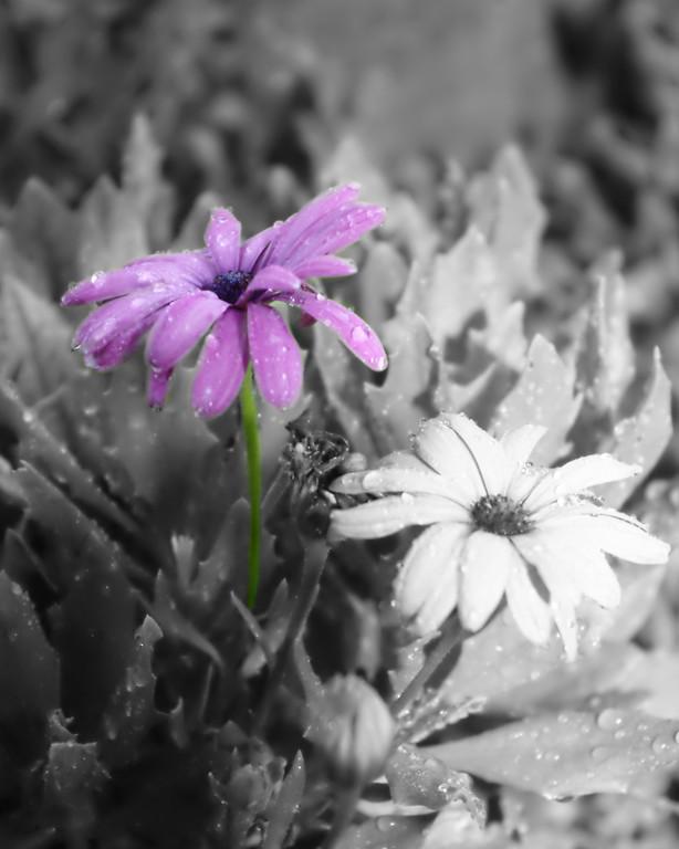 <center><h1>Purple Daisy</h1></center>
