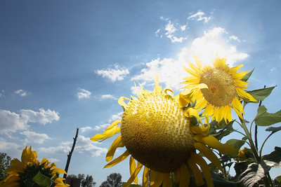 Sunflowers in the Sun.