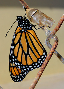 First steps of a monarch butterfly.