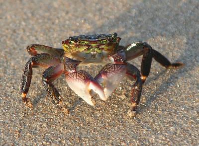 Beach crab.