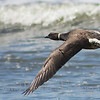 Brant in flight