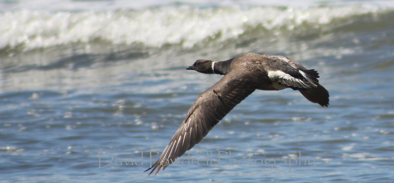 Brant in flight - Carpinteria California