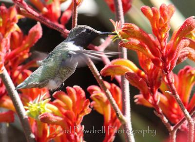 Hummingbird at the Kangaroo Pod.
