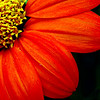 Mexican Sunflower, Donna's Garden<br /> Summer, 2008