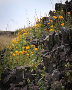 Poppies in Basalt