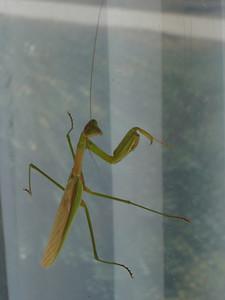 Praying Mantis, Rawhide
